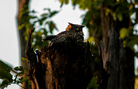 Brown Fish Owl in its nest