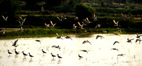 A flock of Black Tailed Godwits