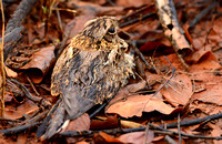 Another Nightjar, wet from the night's rain, sits on her chick