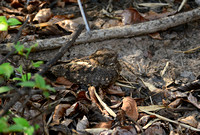 A Nightjar snoozes in the shade