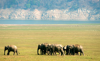 A herd of elephants on the grassy meadow near the Ramganga river